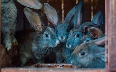 złodzieje królików