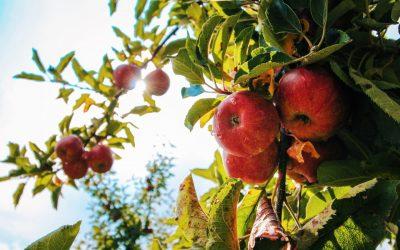Sad Jabłka